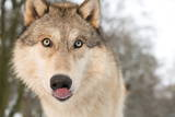 North American Timber Wolf (Canis Lupus) in Forest, Austria, Europe Photographic Print by Louise Murray