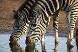 Two Common Zebra (Plains Zebra) (Burchell's Zebra) (Equus Burchelli) Drinking Photographic Print by James Hager