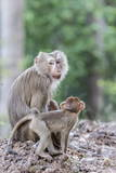 Young Long-Tailed Macaque (Macaca Fascicularis) Near its Mother in Angkor Thom Photographic Print by Michael Nolan