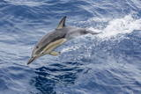 Long-Beaked Common Dolphin (Delphinus Capensis) Leaping Near White Island Photographic Print by Michael Nolan