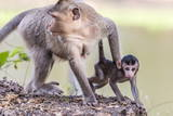 Young Long-Tailed Macaque (Macaca Fascicularis) under its Mother in Angkor Thom Photographic Print by Michael Nolan