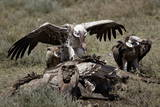 Ruppell's Griffon Vulture (Gyps Rueppellii) Atop a Zebra Carcass Photographic Print by James Hager