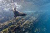 Galapagos Fur Seal (Arctocephalus Galapagoensis) Underwater at Isabela Island Photographic Print by Michael Nolan