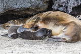 Galapagos Sea Lion (Zalophus Wollebaeki) Pup Nursing in Urbina Bay Photographic Print by Michael Nolan