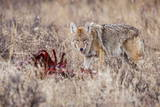 Coyote (Canis Latrans) Feeding Photographic Print by Michael Nolan