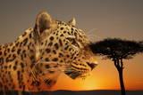 Cheetah, Masai Mara, Kenya, East Africa, Africa Fotografisk trykk av Angelo Cavalli
