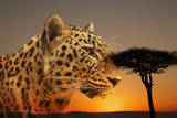 Cheetah, Masai Mara, Kenya, East Africa, Africa Photographic Print by Angelo Cavalli