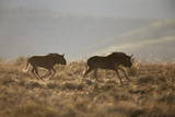 Two Young Black Wildebeest (White-Tailed Gnu) (Connochaetes Gnou) Running Photographic Print by James Hager
