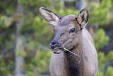 Young Elk (Cervus Canadensis) Grazing Along the Madison River Photographic Print by Michael Nolan