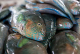 Parrotfish (Scaridae) an Important Herbivore in the Coral Reef Ecosystem Photographic Print by James Morgan