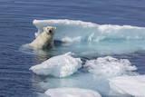 Adult Polar Bear (Ursus Maritimus) Emerging Photographic Print by Michael Nolan