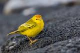 Adult Male Galapagos Yellow Warbler (Setophaga Petechia Aureola) at Puerto Egas Fotografie-Druck von Michael Nolan