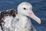Wandering Albatross, Diomedea Exulans, in Calm Seas Off Kaikoura, South Island, New Zealand Photographie par Michael Nolan