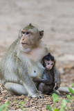 Young Long-Tailed Macaque (Macaca Fascicularis) Nursing from its Mother in Angkor Thom Photographic Print by Michael Nolan