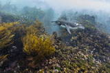 Galapagos Penguin (Spheniscus Mendiculus) Underwater at Isabela Island Photographic Print by Michael Nolan