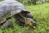 Wild Galapagos Giant Tortoise (Chelonoidis Nigra) Feeding Photographic Print by Michael Nolan