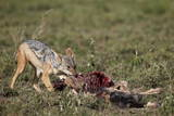 Black-Backed Jackal (Silver-Backed Jackal) (Canis Mesomelas) at a Blue Wildebeest Calf Kill Photographic Print by James Hager