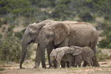 African Elephant (Loxodonta Africana) Mothers and Babies Photographic Print by James Hager