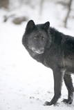 Black Melanistic Variant of North American Timber Wolf (Canis Lupus) in Snow, Austria, Europe Photographic Print by Louise Murray