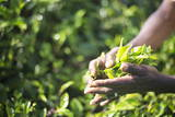 Hands of a Tea Picker Picking Tea in the Sri Lanka Central Highlands, Tea Country, Sri Lanka, Asia Photographie par Matthew Williams-Ellis