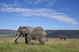 Two Bull African Elephant (Loxodonta Africana) Photographic Print by James Hager