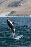 Dusky Dolphin (Lagenorhynchus Obscurus) Leaping Near Kaikoura, South Island, New Zealand, Pacific Photographic Print by Michael Nolan