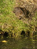 Water Vole (Arvicola Terrestris) at Burrow Entrance Photographic Print by Louise Murray