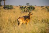 Ugandan Kob (Kobus Kob Thomasi), Murchison Falls National Park, Uganda, East Africa, Africa Photographic Print by Michael Runkel