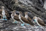 Blue-Footed Boobies (Sula Nebouxii) at Puerto Egas Photographic Print by Michael Nolan