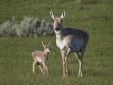 Pronghorn (Antilocapra Americana) Cow and Calf Photographic Print by James Hager