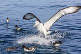 White-Capped Albatross Photographie par Michael Nolan
