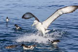 White-Capped Albatross Photographic Print by Michael Nolan