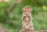 Young Long-Tailed Macaque (Macaca Fascicularis) in Angkor Thom Photographic Print by Michael Nolan