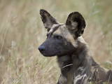 African Wild Dog (African Hunting Dog) (Cape Hunting Dog) (Lycaon Pictus) Photographic Print by James Hager