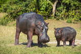 Hippopotamus (Hippopotamus Amphibius) Mother Fotografisk tryk af Michael Runkel