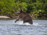 Kamchatka Brown Bear (Ursus Arctos Beringianus) Hunting for Salmon Photographic Print by Michael Runkel