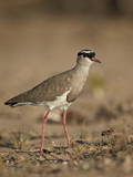 Crowned Plover (Crowned Lapwing) (Vanellus Coronatus) Photographic Print by James Hager