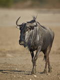 Blue Wildebeest (Brindled Gnu) (Connochaetes Taurinus) Photographic Print by James Hager