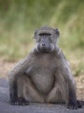 Chacma Baboon (Papio Ursinus) Photographic Print by James Hager