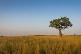 Lonely Tree in the Savannah of the Murchison Falls National Park, Uganda, East Africa, Africa Photographic Print by Michael Runkel
