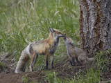 Red Fox (Vulpes Vulpes) (Vulpes Fulva) Kit Licking its Father's Mouth Photographic Print by James Hager