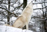 North American Timber Wolf, Canis Lupus Howling in the Snow in Deciduous Forest Photographic Print by Louise Murray