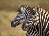Tow Common Zebra (Plains Zebra) (Burchell's Zebra) (Equus Burchelli) Photographic Print by James Hager