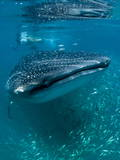 Scientist and Whale Shark (Rhincodon Typus) Feeding at the Surface Photographic Print by Louise Murray