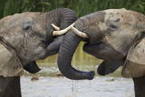 Two African Elephant (Loxodonta Africana) Playing Photographic Print by James Hager