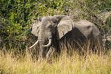 African Elephant (Loxodonta Africana), Murchison Falls National Park, Uganda, East Africa, Africa Photographic Print by Michael Runkel