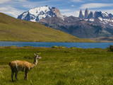 Guanaco (Lama Guanicoe), Torres Del Paine National Park, Patagonia, Chile, South America Photographic Print by Michael Runkel