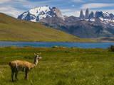 Guanaco (Lama Guanicoe), Torres Del Paine National Park, Patagonia, Chile, South America Lámina fotográfica por Michael Runkel