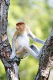 Juvenile Male Proboscis Monkey (Nasalis Larvatus) Photographic Print by Louise Murray