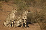 Two Cheetah (Acinonyx Jubatus) Photographic Print by James Hager